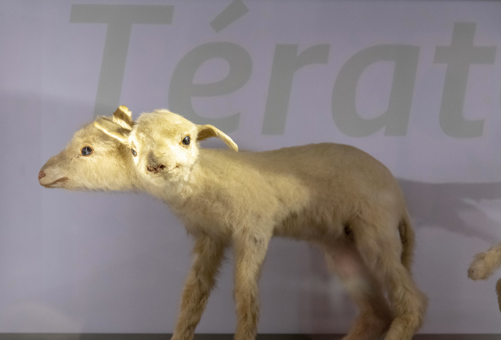 The Museum of natural history of Bordeaux - Science and nature propose to discover the Two-headed sheep in What a funny specimen!