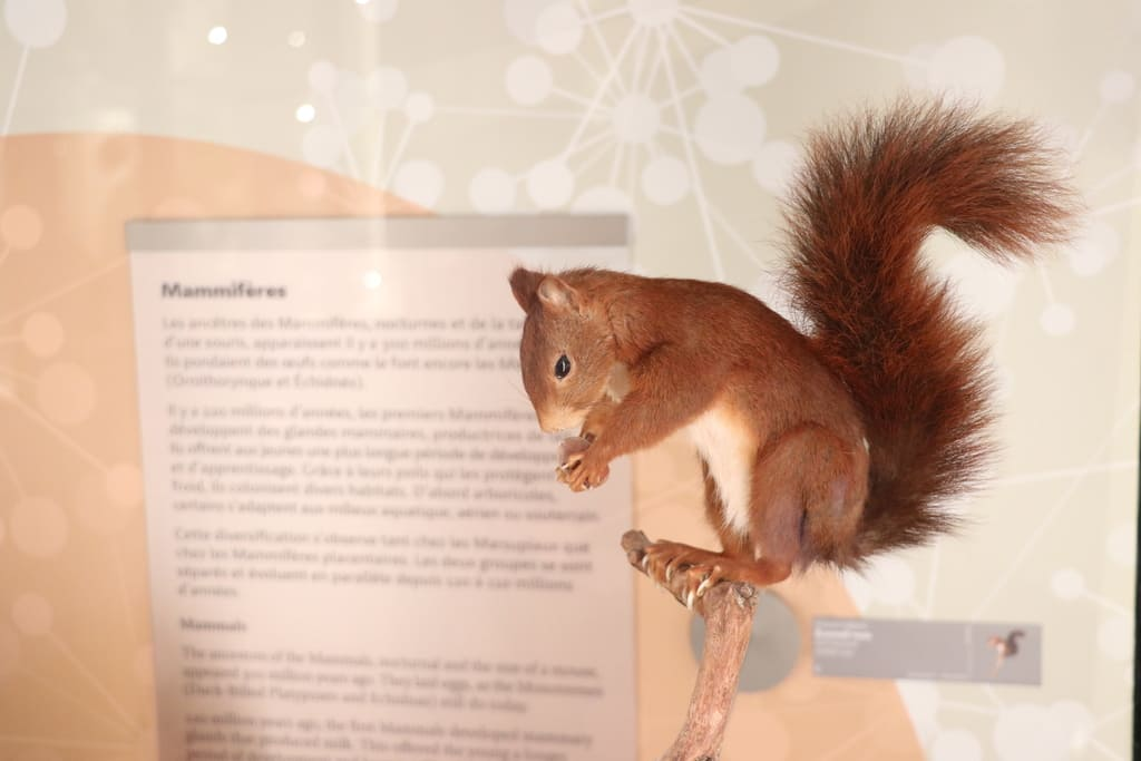 The Museum of Bordeaux - Science and nature offer to discover squirrels